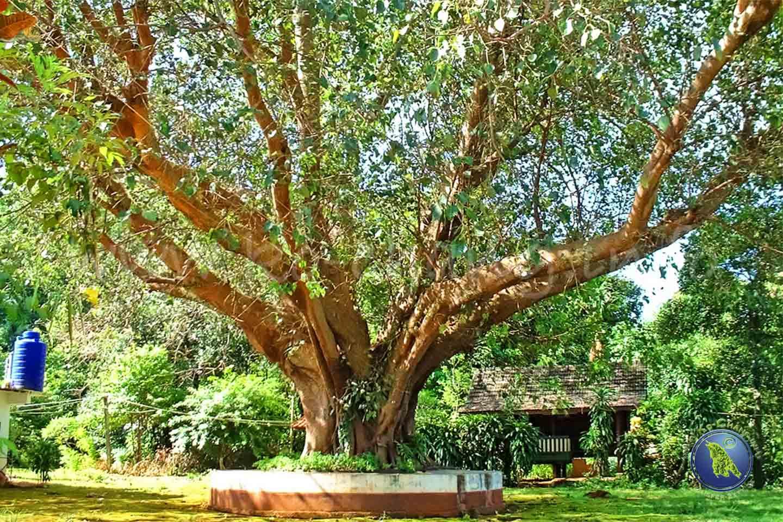 Tempelbaum auf Koh Maak in Thailand