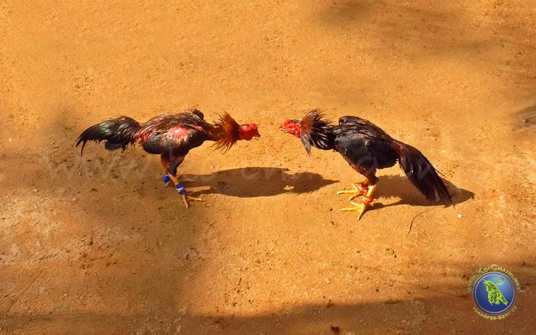 Hahnenkampf in Thailand