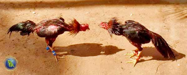 Cock fight in Thailand